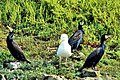 Odd one out - Puffin Island Anglesey (20353608561).jpg