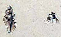 Oenopota koreni 002.jpg