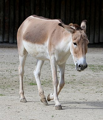 Persian onager - Persian onager at Augsburg Zoo, Germany