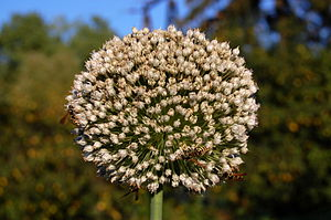 Flower of onion (Allium cepa).