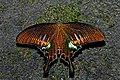 Open wing position of Papilio bianor Cramer, 1777 – Common Peacock WLB DSC 4064.jpg