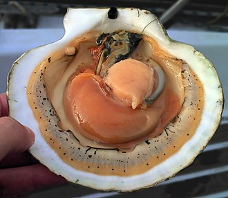 "Scallop - A live opened scallop showing the internal anatomy: The pale orange circular part is the adductor muscle; the darker orange curved part is the ""coral"", a culinary term for the ovary or roe."