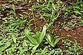 Ophioglossum nudicaule(1).jpg