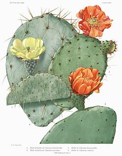 <i>Opuntia ficus-indica</i> species of plant