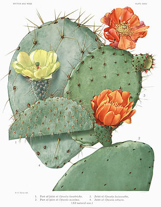 Opuntia ficus-indica - Illustration by Eaton in The Cactaceae