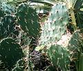 Opuntia ficus-indica cactus Vellanki Visakhapatnam.jpg