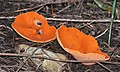 Orange peel fungus.JPG