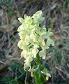 Orchis provincialis2.jpg