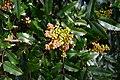 Oregon grape (Mahonia aquifolium) budding along Green River Trail 01.jpg