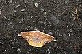 Oreta fuscopurpurea (40895368682).jpg