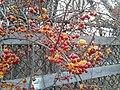 Oriental bittersweet winter 2.jpg