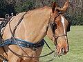 Orsopapera-cavallo 004.JPG