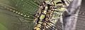 Orthetrum caledonicum (16607470006).jpg