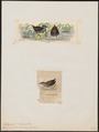 Ortygometra tabuensis - 1700-1880 - Print - Iconographia Zoologica - Special Collections University of Amsterdam - UBA01 IZ17500105.tif