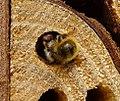 Osmia bicornis sealing chamber with mud plug (33316038354).jpg