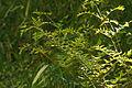 Osmunda japonica (16731689143).jpg