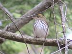 Ovenbird-CPB-FaceRight.jpg