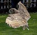 Owl wings (5635477214).jpg