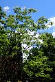 Oxydendrum arboreum kz02.jpg