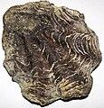 Oyster fossil (Jurassic (?); Bambamarca, Cajamarca, Peru) 1 (49036515852).jpg