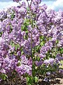 Pētera Upīša ceriņu dārzs, Parūķis, Krimūnu pagasts, Dobeles novads, Latvia - panoramio (5).jpg