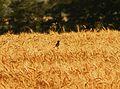 Pŕhľaviar čiernohlavý (2).jpg
