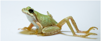Ribeiroia - Pacific tree frog with limb malformation induced by Ribeiroia ondatrae