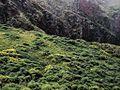 P20130507-0154—Lupinus arboreus—Point Reyes (8740925995).jpg