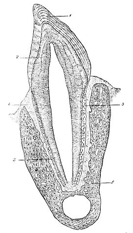 PSM V17 D237 Section of tooth of cat.jpg