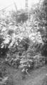 PSM V62 D209 A speciment plant martinezia caryotaefolia.png