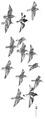 Paarse strandloper Calidris maritima Jos Zwarts 2.tif