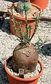 Pachypodium succulentum Succulents exhibition in Botanical Garden of Charles University 2016.jpg