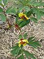 Paeonia delavayi aff. trolloides (17291577263).jpg
