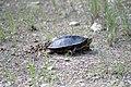 Painted Turtle Laying Eggs (35277834332).jpg