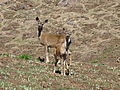 Pair of Mule Deer- Odocoileus hemionus californicus (9401081133).jpg
