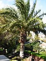 Palm Tenerife 1.JPG
