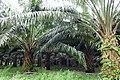 Palmiers à huile à Ribeira Peixe (São Tomé) (3).jpg