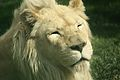 Panthera leo at the Philadelphia Zoo 005.jpg