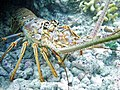 Panulirus argus (Caribbean spiny lobster) (Grand Cayman Island, Caribbean Sea).jpg