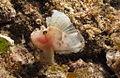 Paperfish at Aliwal Shoal, KwaZulu-Natal, South Africa (5950817477).jpg
