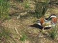 Parc Olbius Riquier - Mandarin duck 1.jpg