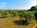Parc Samà, oliveres a l'exterior - panoramio.jpg