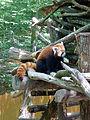 Parc animalier de Sainte-Croix-Panda roux (2).jpg
