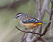 Pardalotus punctatus male with nesting material - Risdon Brook.jpg