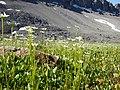 Parnassia fimbriata (29099146852).jpg