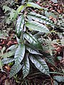 Parsonsia inodora 03.jpg