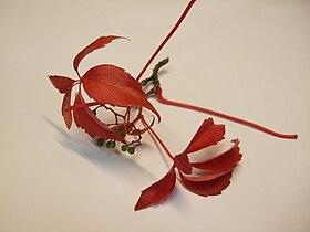 Parthenocissus-quinquefolia.jpg