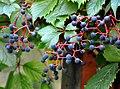 Parthenocissus quinquefolia Woodbine ამერიკული უსურვაზი.JPG
