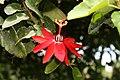 Passiflora coccinea 15zz.jpg