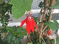 Passiflora vitifolia40.jpg